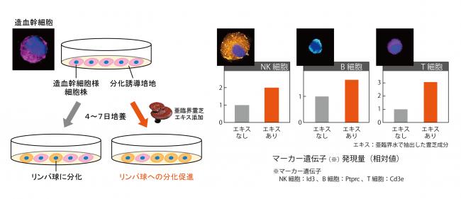日本メナード化粧品、造血幹細胞からリンパ球を生み出す能力を高める ...