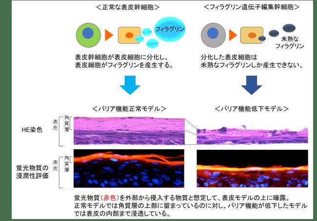 図1 ゲノム編集を応用したバリア機能低下モデル