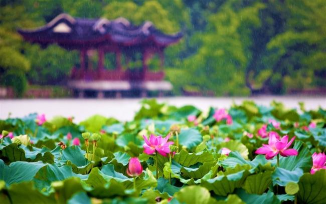 5月~9月は蓮の花のシーズンを迎える西湖