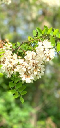 非加熱 日本に2%しか流通していないハンガリー産のアカシア蜂蜜