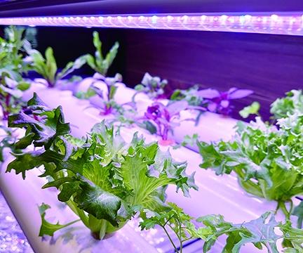 収穫前のレタス。野菜の成長過程も楽しめます