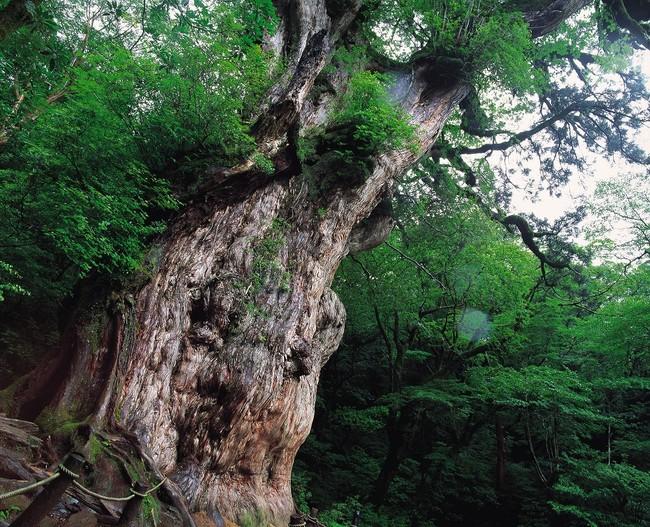 ▲縄文杉 (C)K.P.V.B