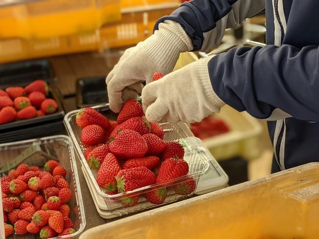 市内でイチゴやトマトを生産する「さわの森農園」