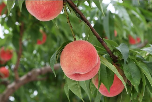 収穫期を迎える桃