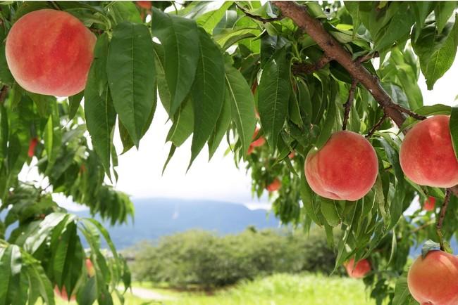 桑折町の桃