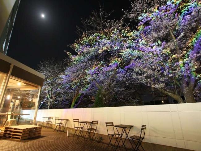 テラス側に咲く桜並木。見事にレインボーにライトアップされ、幻想的で美しい。