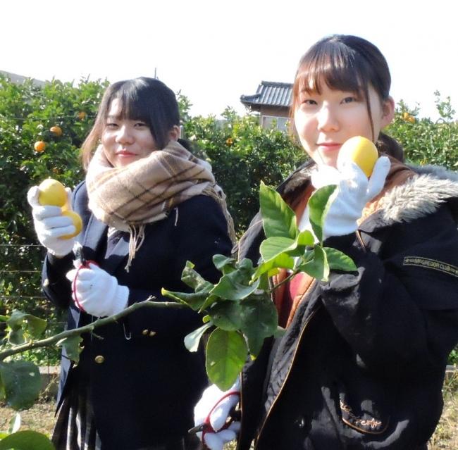 大崎上島の岩崎農園で県立広島大の学生と大崎海星高校の生徒たちがペアでレモン収穫応援