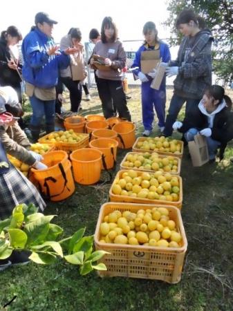 収穫したレモンは大豊作