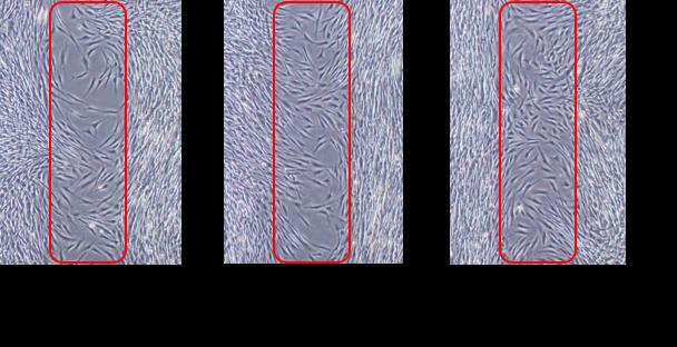 写真2:パール柑エキスの細胞遊走活性化