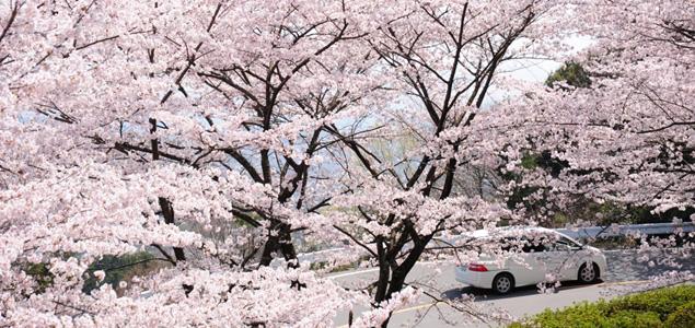 満開の桜が咲き誇る清滝口ゲート付近