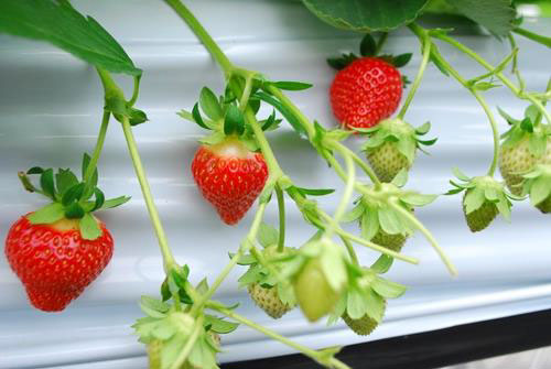 栽培中の夏採りイチゴ