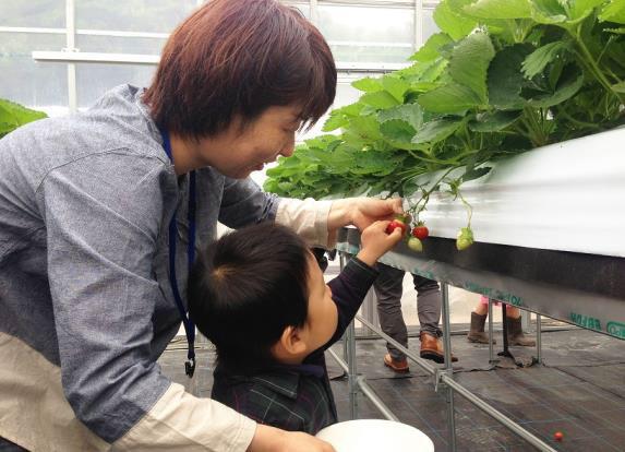 イチゴの摘み取り体験の様子