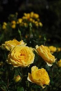ローズウオークに咲くバラ  (10月4日撮影)
