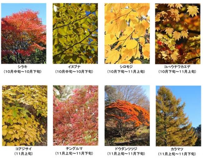 六甲高山植物園の紅葉木