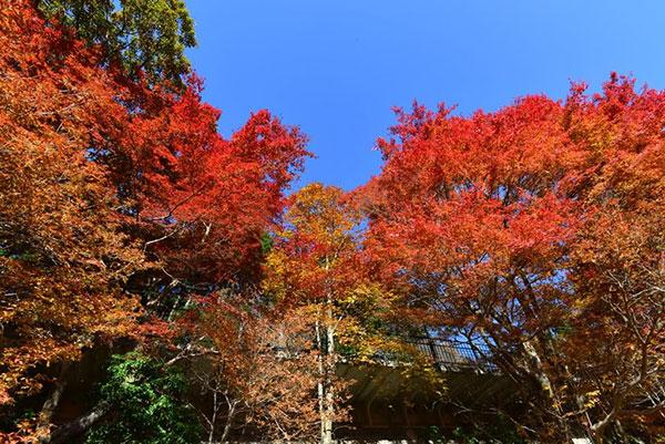 六甲高山植物園 園内の紅葉木 約250本