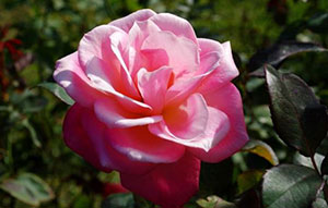 ローズウオークに咲くバラ(10月16日撮影)
