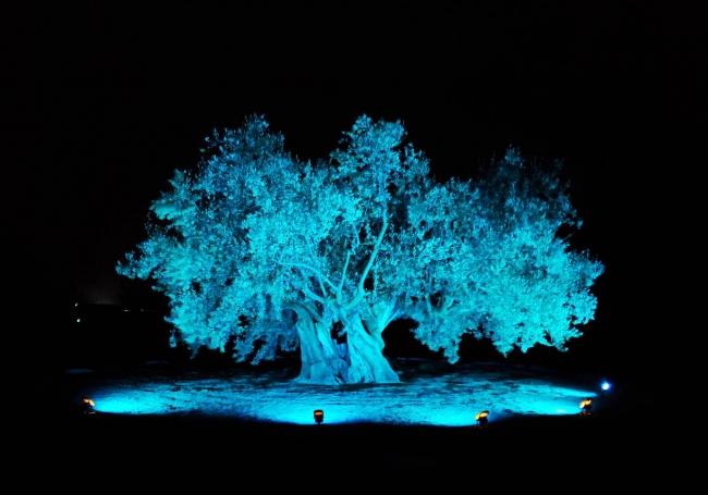 小豆島 オリーヴの森EASTにある「樹齢千年のオリーヴ大樹」