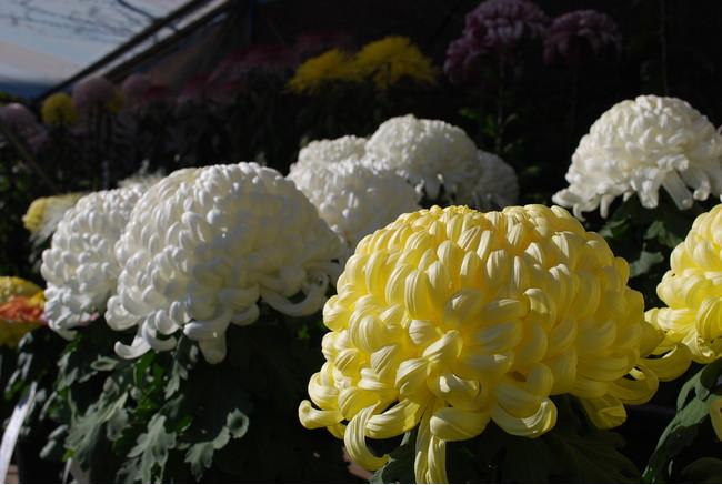 菊花展の様子