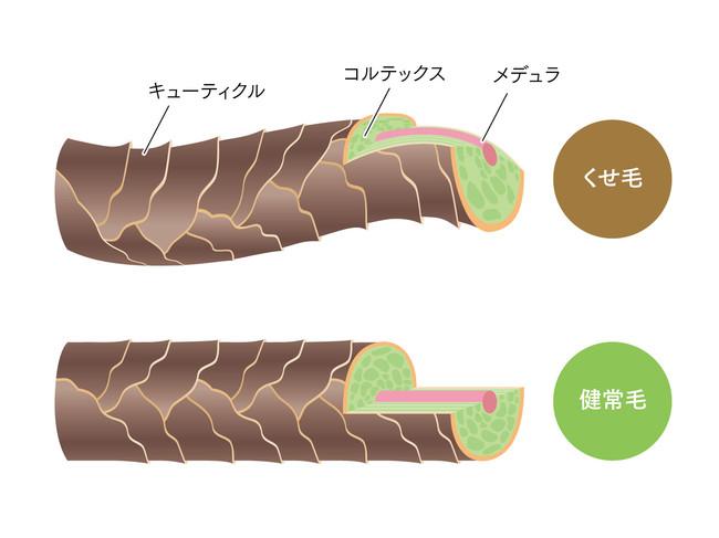 毛髪の3層構造(イメージ)