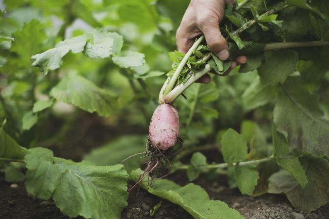 収穫した野菜は夜のディナーで提供