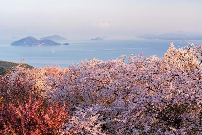 世界のハリウッドも認めた紫雲出山(香川県三豊市)の桜