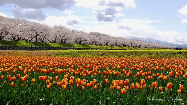 4色が混ざり合う絶景スポット富山県朝日町の春の四重奏