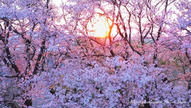 日常の中にある心安らぐ夕日と桜 愛知県西尾市の黄金堤の桜