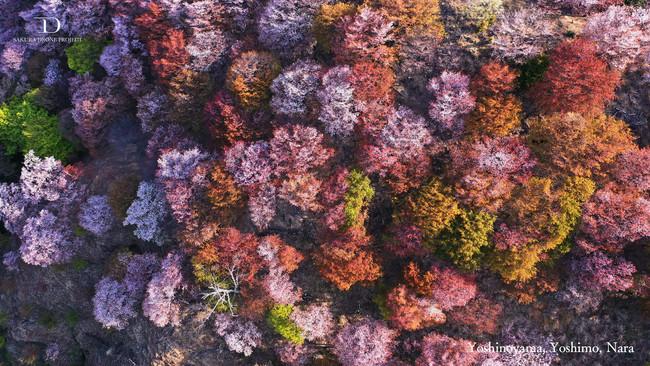 まるで桜の山 奈良県吉野町の世界遺産 吉野山の桜