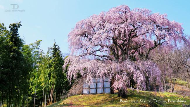 太く美しい福島県田村市の一本桜