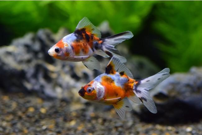 高級金魚すくい キャリコ