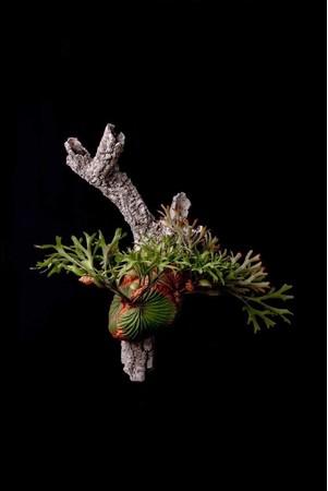 世界のビカクシダをアートに栽培する