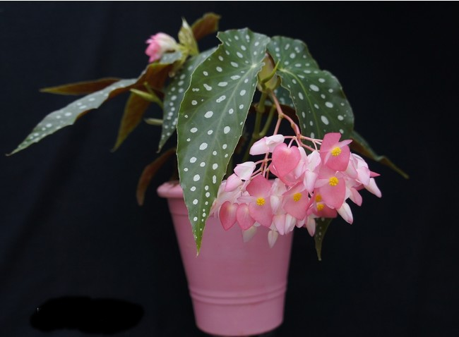 インテリアのアート植物 ベゴニア