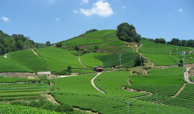 和束町・石寺の茶畑