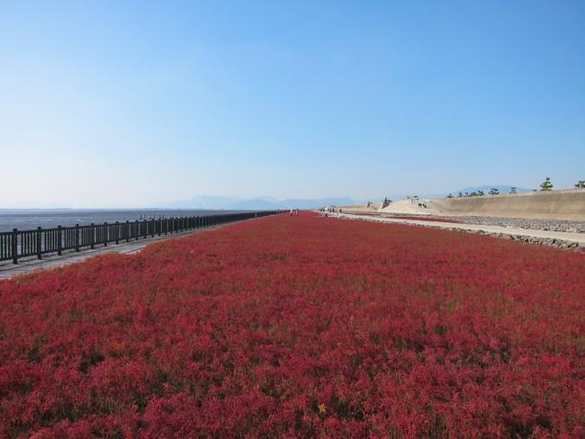 晩秋の有明海沿岸を真っ赤に染め上げるシチメンソウ