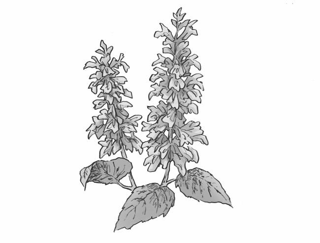 クラリセージ(オニサルビア油)