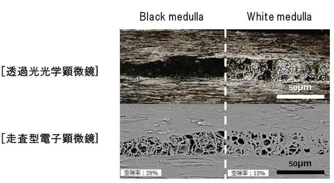 (図1)2種類のメデュラ