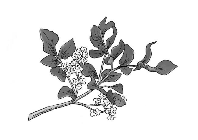アミリス(アミリスバルサミフェラ樹皮油)