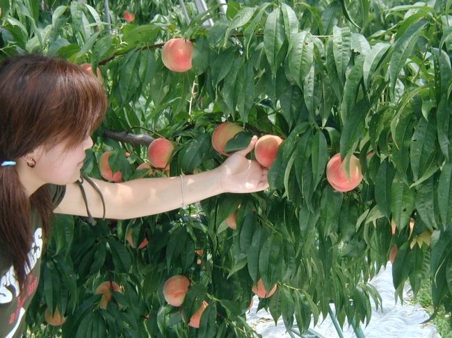 信州フルーツランドでのフルーツ狩り体験