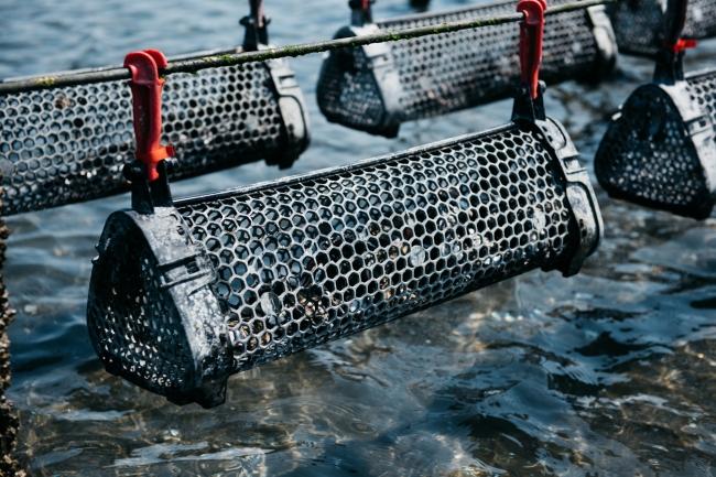 ゆりかごで揺られて育つ干潟養殖牡蠣「ひがた美人」