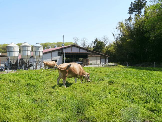 那須高原の大自然で飼育されるジャージー種