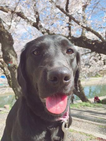 介助犬訓練犬グラディス