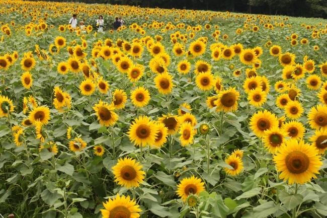 ひまわり畑が有名な成田ゆめ牧場の公式アンバサダーに!