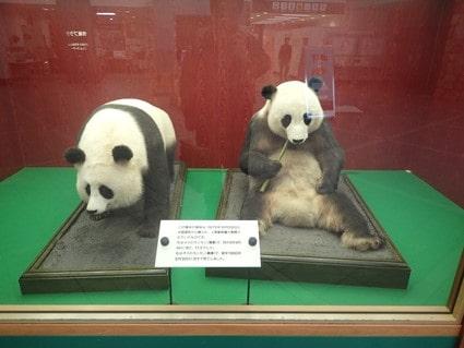 滋賀県に初お目見えするジャイアントパンダの「カンカン」(左)と「ランラン」(右)の剥製(多摩動物公園提供)