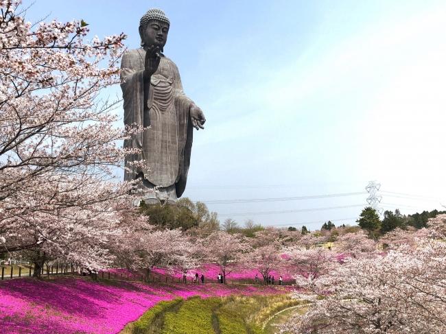 牛久浄苑・牛久大仏の桜と芝桜