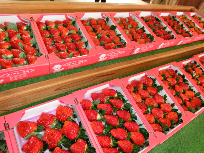 収穫されたばかりの新鮮な苺を販売(12月~5月頃まで)