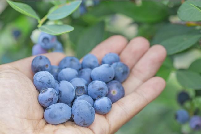 30種類のブルーベリーを楽しめるブルーべりー狩りが大人気