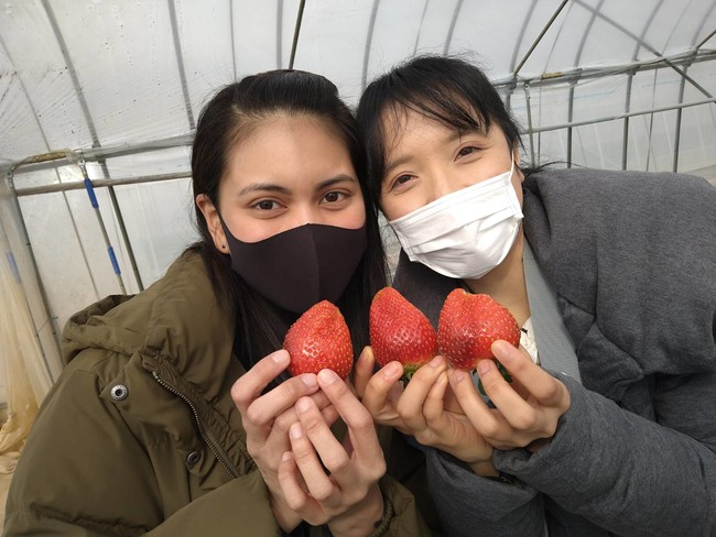 イチゴ狩りは12月~5月頃まで