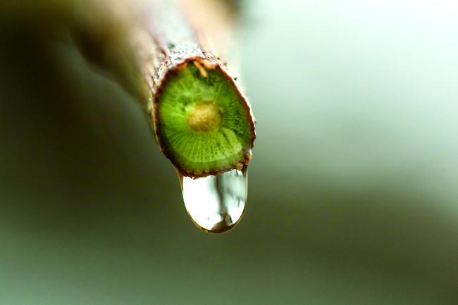 枝から滴る葡萄樹液