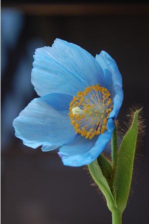 白馬五竜高山植物園ヒマラヤの青いケシ