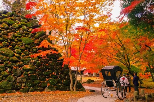 秋が深まる10月下旬頃からモミジや イチョウ、ケヤキなどが色づき始める。 小諸城址懐古園では、400年を超える 歴史がある石垣と紅葉の彩りが楽しめる。